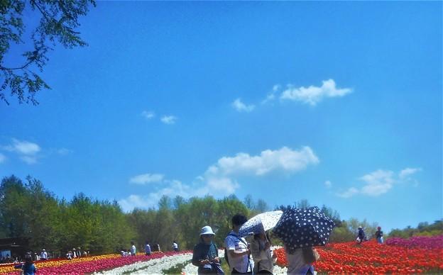 初夏の青空とチューリップ畑@世羅高原農場