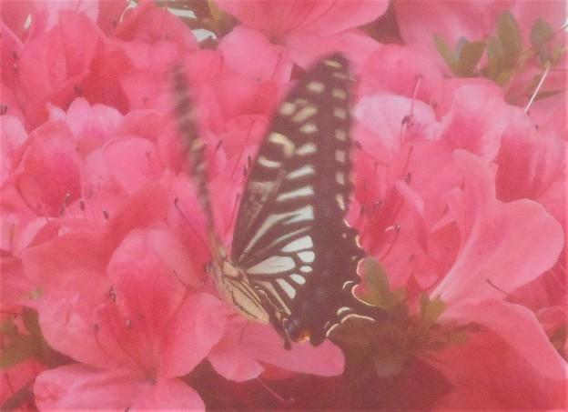 新緑の サツキにアゲハチョウ@新高山
