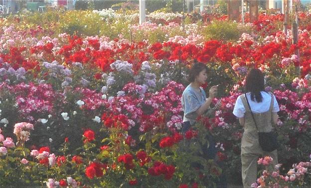 色とりどりの薔薇@ばら公園