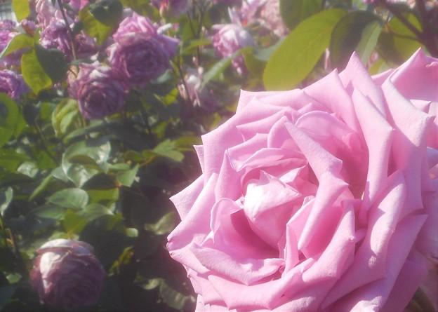 """初夏の薔薇 """"福山城""""@中央公園@ばら祭2019"""