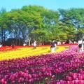 5月のチューリップ畑@世羅高原農場