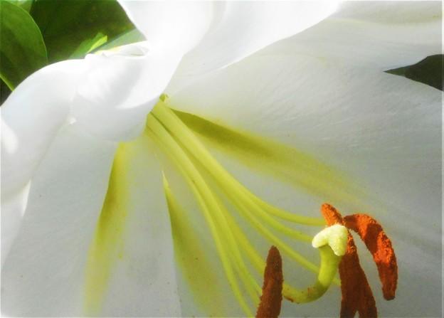 白い百合の花@三原城址周辺