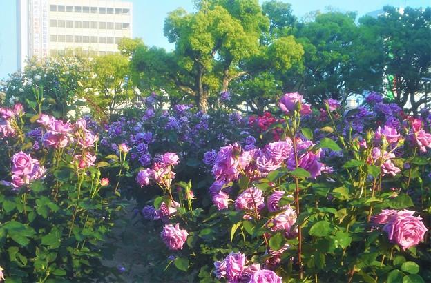 """満開の薔薇 """"福山城""""@ばら公園"""