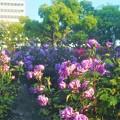 """Photos: 満開の薔薇 """"福山城""""@ばら公園"""