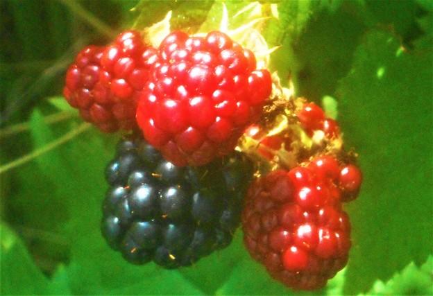 梅雨の晴れ間に ブラックベリーの実がたわわ。