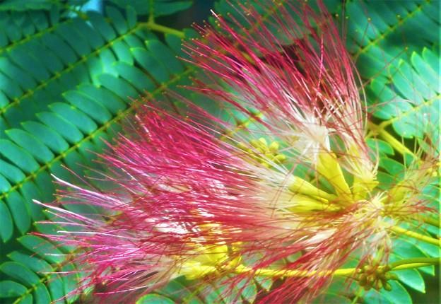梅雨に咲く 合歓(ネム)の花