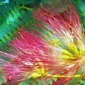Photos: 梅雨に咲く 合歓(ネム)の花