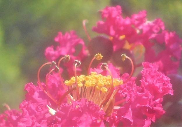 百日紅(サルスベリ)の花の咲く頃