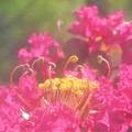 Photos: 百日紅(サルスベリ)の花の咲く頃