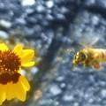 花粉にまみれて@ミツバチくん@背中は タケコプター