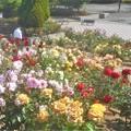 初夏に咲く満開の薔薇たち@緑町公園・ローズヒル