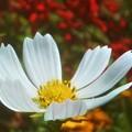 散歩道に咲く 白いコスモス@海の日前のガーデニング畑
