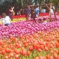 世羅高原の花ブランコ@チューリップ畑