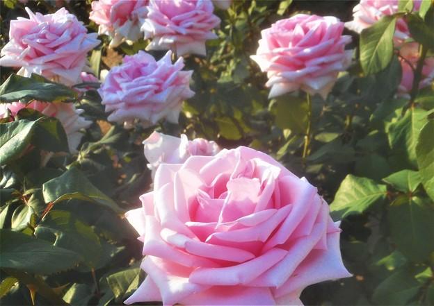 """新緑の薔薇 """"オードリー ヘップバーン""""@ばら公園@Audrey Hepburn"""