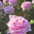 """Photos: 新緑の薔薇 """"オードリー ヘップバーン""""@ばら公園@Audrey Hepburn"""