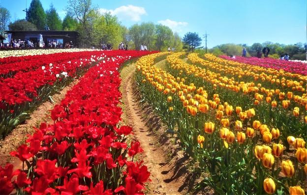 極彩色のチューリップ畑@世羅高原農場