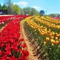 Photos: 極彩色のチューリップ畑@世羅高原農場