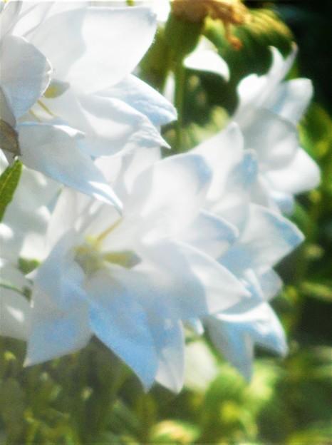 白桔梗(シロギキョウ)の咲く街にて。