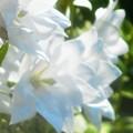 Photos: 白桔梗(シロギキョウ)の咲く街にて。