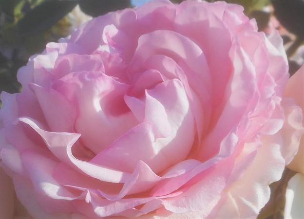 """新緑の薔薇 """"ピエール ドゥ ロンサール""""@1986年フランス(CL)@作出者メイアン"""