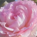 "Photos: 新緑の薔薇 ""ピエール ドゥ ロンサール""@1986年フランス(CL)@作出者メイアン"