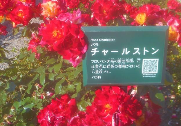 """初夏の紅い薔薇 """"チャールストン""""@中央公園@詳細はQRコードから"""