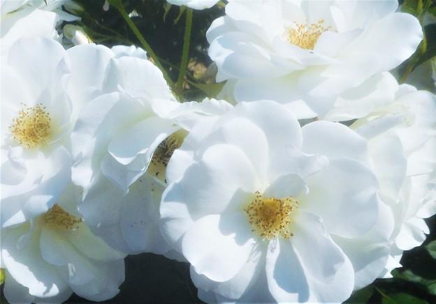 """天空に咲く白い薔薇 """"アイスバーグ""""@緑町公園ローズヒル"""