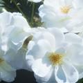 """Photos: 天空に咲く白い薔薇 """"アイスバーグ""""@緑町公園ローズヒル"""