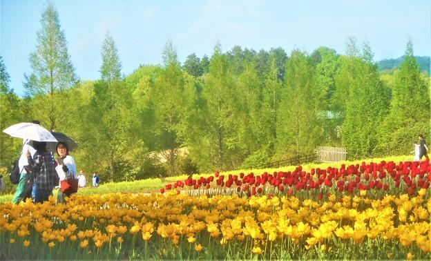 世羅高原チューリップ畑