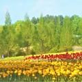 Photos: 世羅高原チューリップ畑