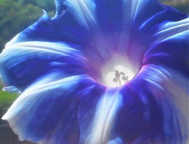 立秋に咲く 青いアサガオ