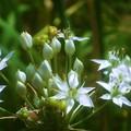 処暑のころに咲く ハナニラの花@瑠璃山