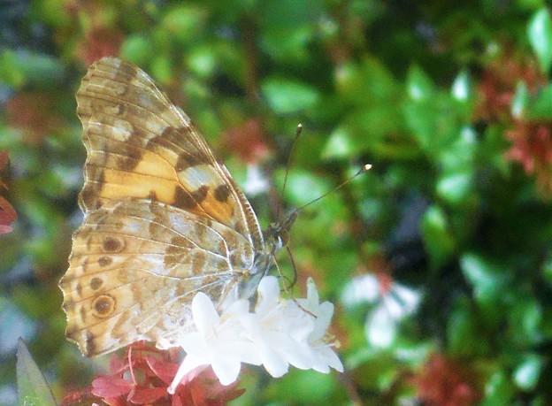 Photos: アベリアの花に ヒメアカタテハ@新高山