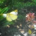 見上げれば@飛び立つ蝶@アベリアの花