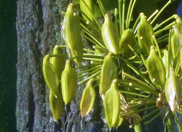 収穫の秋@アガパンサスの実と銀杏の木
