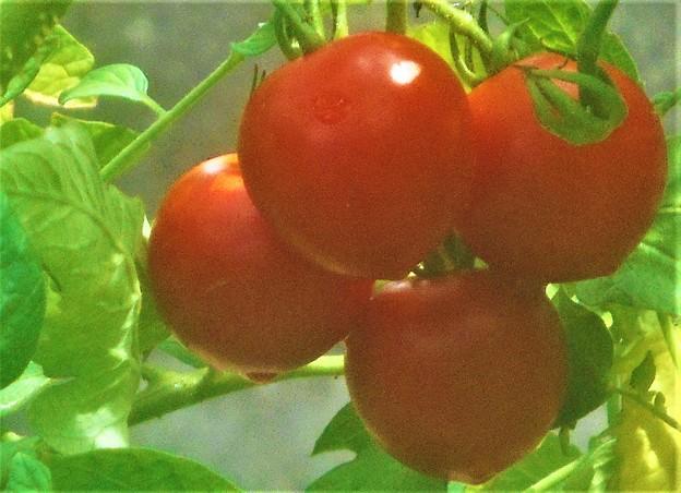 美味しそうな完熟トマト@瑠璃山