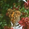 Photos: アベリアの 花蜜を吸う ヒメアカタテハ@新高山