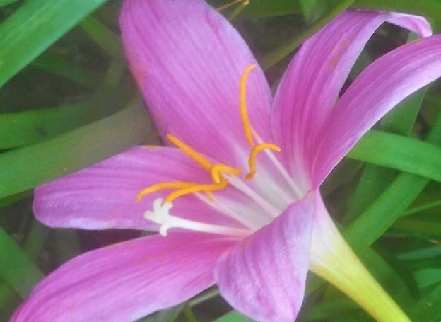 ゼフィランサスの花@イチョウ並木の下に咲く