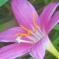 Photos: ゼフィランサスの花@イチョウ並木の下に咲く