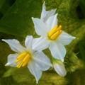 Photos: ワルナスビの花@イチョウ並木の木の下にて