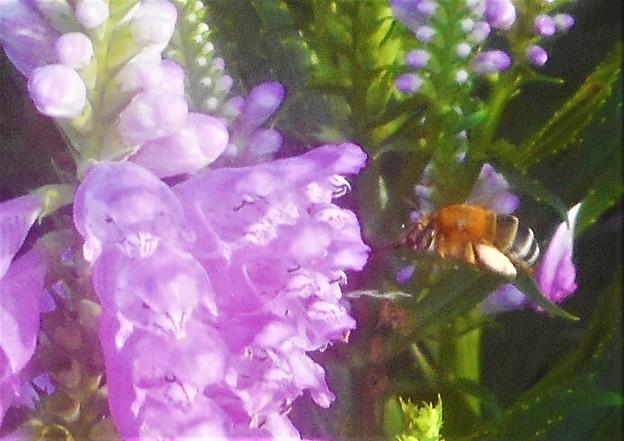 ハナトラノオに突進するミツバチくん@びんご運動公園