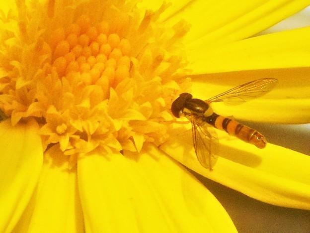 ユリオプス・デージーの花に ヒラタアブくん