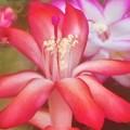 Photos: シャコバサボテンの花