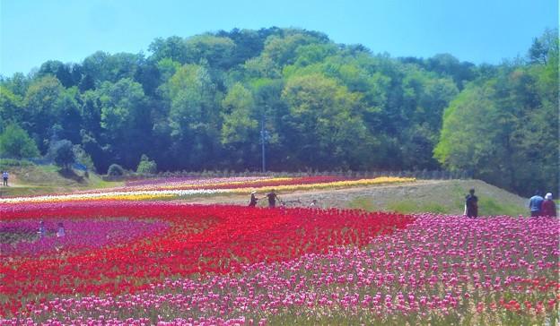 初夏のチューリップ畑@世羅高原農場