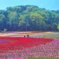 Photos: 初夏のチューリップ畑@世羅高原農場