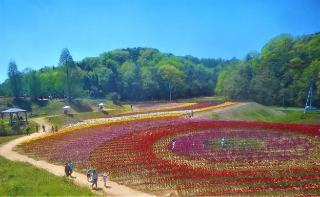 初夏のチューリップ畑@世羅高原