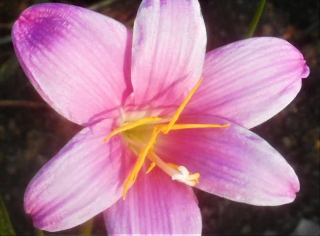 初秋の高原に咲く ゼフィランサス(レインツリー)@びんご運動公園