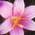 Photos: 初秋の高原に咲く ゼフィランサス(レインツリー)@びんご運動公園