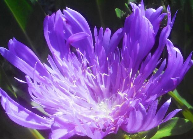 高原に爽やかに咲く ルリギクの花@ストケシア