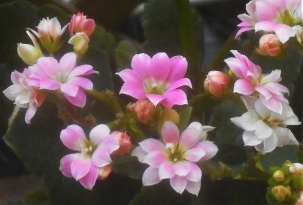 カランコエ パーフェクタの花